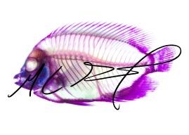 Centropyge flavissima, the lemonpeel angelfish, full body. M C Gilbert 2017.