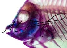 Centropyge flavissima, the lemonpeel angelfish, head close up