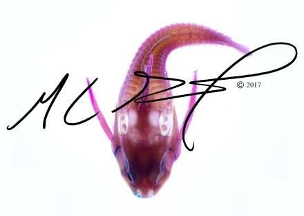 Platydoras armatulus , the striped Raphael catfish