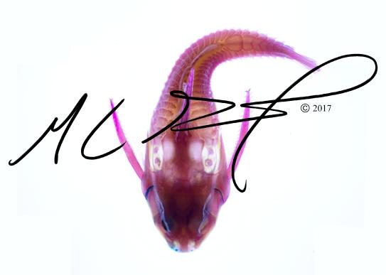 Platydoras armatulus , the striped Raphael catfish. M C Gilbert 2017.