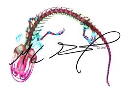 Ambystoma mavortium nebulosum, Arizona tiger salamander - cannibal morph. M C Gilbert 2017.