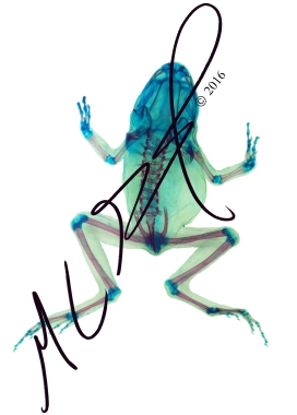 Pseudacris sp. (genus of chorus frogs, salvaged specimen). M C Gilbert 2016.