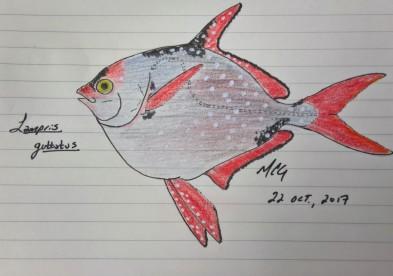 Lampris guttatus, opah, 2017 #SundayFishSketch