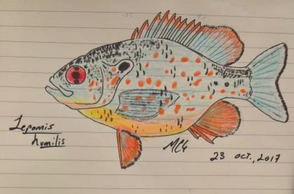 Lepomis humilis, the orangespotted sunfish, 2017