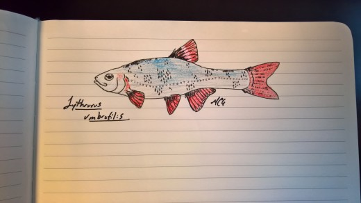 Lythrurus umbratilis, redfin shiner, male, 2017 #SundayFishSketch