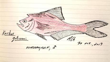 Kurtus gulliverri, nurseryfish, 2017