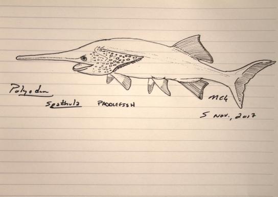 Polyodon spathula, paddlefish, #SundayFishSketch, @PrimitiveFishes, 2017