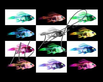 """Tripping Bluegill"" Lepomis macrochirus, bluegill, abstract with custom filters"