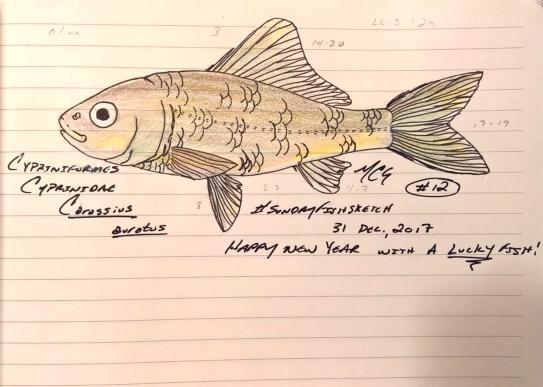 "Carassius auratus, the common ""not so gold"" goldfish. #SundayFishSketch #FishYearsEve 2017"