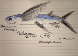 Cheilopogon heterurus, the Mediterranean flyingfish. #SundayFishSketch, 2017.