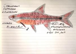 Notropis maculatus, taillight shiner. #SundayFishSketch #Fishmas , 2017