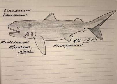 Megachasma pelagios, megamouth shark. #SundayFishSketch, 2018