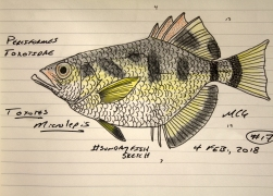 Toxotes microlepis, the smallscale archerfish. A competitive themed #SundayFishSketch, 2018