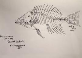 Epibulus insidiator, slingjaw wrasse, skeleton. #SundayFishSketch 2018