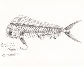 Coryphaena hippurus, a common dolphinfish (Mahi-mahi), skeleton. #SundayFishSketch, 2018