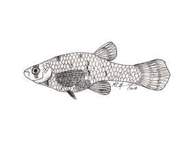 Gambusia affinis, western mosquitofish, female. 2018