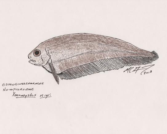 Xenomystus nigri, a brown African knifefish. #SundayFishSketch, 2018