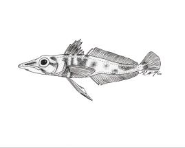 Chaenodraco wilsoni, a spiny icefish. MC Gilbert 2018.