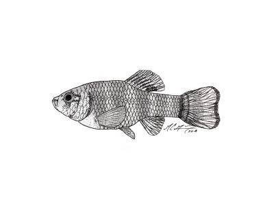 Cyprinodon pecosensis, a Pecos pupfish. #SundayFishSketch. MC Gilbert, 2018