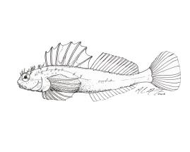 Clinocottus acuticeps, a sharpnose sculpin. MC Gilbert 2018. #SundayFishSketch