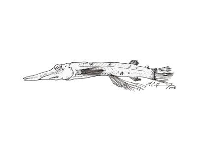 Dolichopteryx rostrata, longnose spookfish. MC Gilbert 2018 #SundayFishSketch
