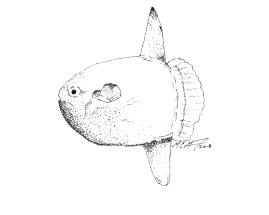 Mola mola, common mola/sunfish. MC Gilbert 2018. #SundayFishSketch
