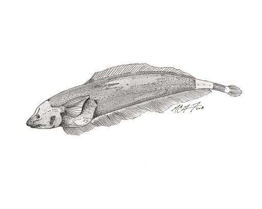 Apteronotus albifrons, a black ghost knifefish (dorsal fin variant). MC Gilbert 2018. #SundayFishSketch