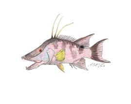 Lachnolaimus maximus, hogfish. #SundayFishSketch MC Gilbert 2018