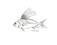 #Inktober2018 Day 5: Chicken. The roosterfish Nematistius pectoralis. MC Gilbert 2018