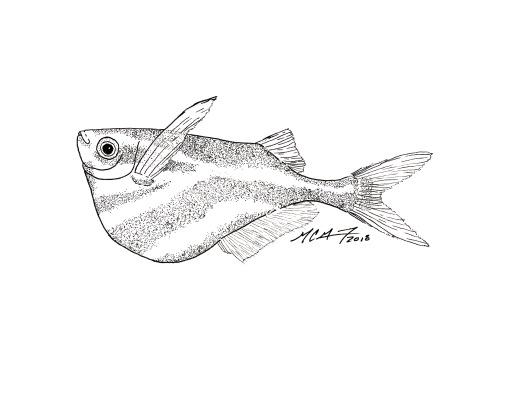 Day 24 of Inktober 2018: #Chop. Carnegiella strigata, the marbled hatchetfish. MC Gilbert 2018