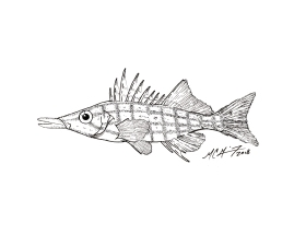 Oxycirrhites typus, longnose hawkfish. #SundayFishSketch. MC Gilbert 2018