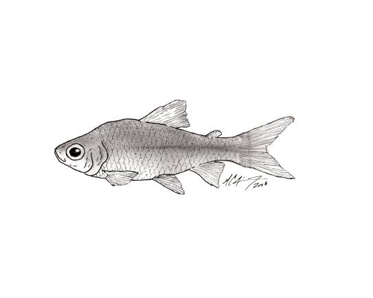 Curimatopsis melanura. #SundayFishSketch. MC Gilbert 2018