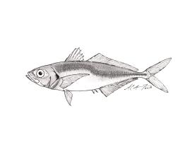 Trachurus japonicus, Japanese jack mackerel. #SundayFishSketch MC Gilbert 2018