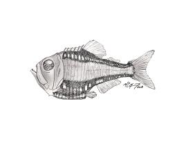 Argyropelecus gigas, a giant hatchetfish. #SundayFishSketch. MC Gilbert 2018
