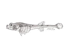 Aspidophoroides olrikii, the Arctic alligatorfish. #SundayFishSketch. MC Gilbert 2018