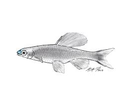 Pteronotropis welaka, a bluenose shiner. #SundayFishSketch.MC Gilbert 2018