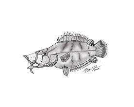 Monocirrhus polyacanthus, South American leaf fish. #SundayFishSketch. MC Gilbert 2019