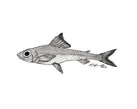 Paraulopus okamurai, a piedtip cucumberfish. #SundayFishSketch. MC Gilbert 2019