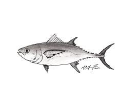 Thunnus obesus, bigeye tuna. #SundayFishSketch. MC Gilbert 2019