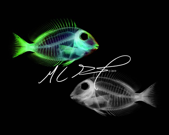 Alternate Reality XIII, featuring Acanthurus chirurgus, doctorfish tang. MC Gilbert 2019