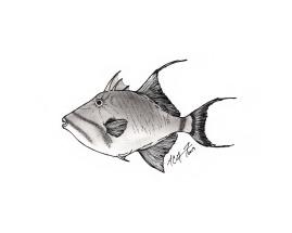 Balistes vetula, queen triggerfish. #SundayFishSketch. MC Gilbert 2019