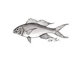 Etelis oculatus, queen snapper. #SundayFishSketch. MC Gilbert 2019