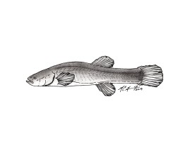 Forbesichthys agassizii, spring cavefish. #SundayFishSketch. MC Gilbert 2019