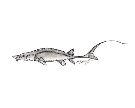 Scaphirhynchus platorynchus, shovelnose sturgeon. #SundayFishSketch. MC Gilbert 2019