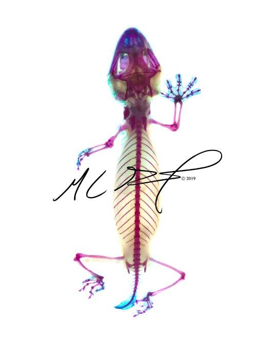 Uroplatus guentheri, Günther's flat-tail gecko. MC Gilbert 2019
