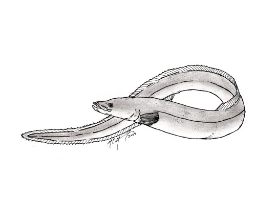 Anguilla japonica, Japanese eel. #SundayFishSketch. MC Gilbert 2019