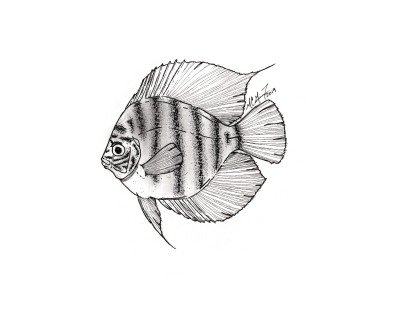 Symphysodon discus, red discus. #SundayFishSketch. MC Gilbert 2019