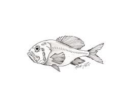 Hoplostethus atlanticus, orange roughy. #SundayFishSketch. MC Gilbert 2019