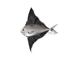 Pterycombus petersii, prickly fanfish. #SundayFishSketch. MC Gilbert 2019