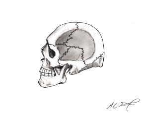 Human Skull, Left Lateral, Osteology. MC Gilbert 2019